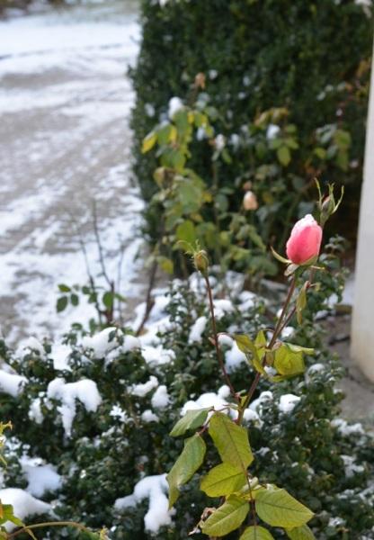 Eine Rose neben der Kirche beim ersten Wintereinbruch